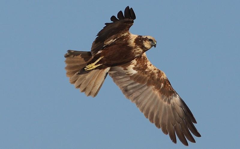 Falco di palude in volo