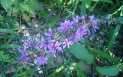 Lytrum salicaria L.