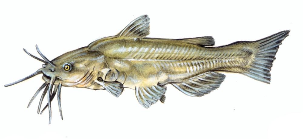 Il pesce gatto